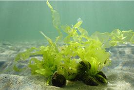 Green seaweed (Photo by Dr. Sophie Steinhagen)