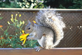Grey squirrel (Photo by Kevstan, Wikimedia Commons)
