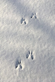 Grey squirrel tracks (Photo by Chase Watesicoot)