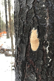 Gypsy moth egg masses are easy to spot on the trunks of trees in the winter. They are about the size of a loonie, and contain 100 to 1,000 eggs. (Photo by hannahdodington, CC BY-NC 4.0)