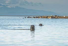 Harbor seals take advantage of the low tide and rest in the sandbanks around Swishwash Island. (Photo by Fernando Lessa)