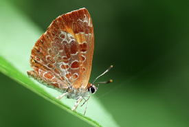 Harvester butterfly (Photo by Rosemary Mosco)