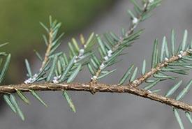 Hemlock woolly adelgid egg masses on a hemlock branch. (Photo courtesy of Invasive Species Centre)