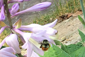 Hosta with bumble bee on its flower (Photo by Dan Kraus/NCC staff)