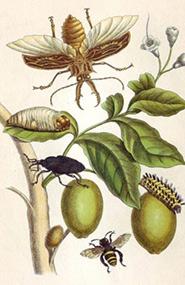 Illuminated copper engraving from Metamorphosis insectorum Surinamensium, Plate XLVIII, Maria Sybilla Merian, 1705 (Image courtesy Public Domain via Wikimedia Commons)