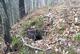 An older and more inconspicuous burrow with a badger in it. (Photo by D. Ethier, Ontario Badger Project)