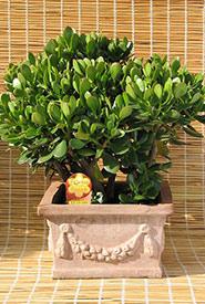 Jade plant (Photo by Arch. Attilio Mileto, Wikimedia Commons, CC BY-SA 3.0)