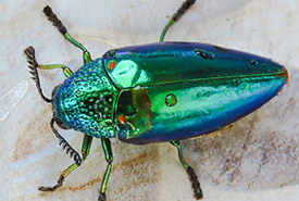 Jewel beetle (Photo by atheist, iNaturalist, CC BY-NC 4.0)