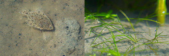 Left: Juvenile starry flounder in low tide. Right: A juvenile stickleback in marsh grasses. (Photos by Fernando Lessa)