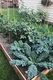 An abundance of kale means lots of salads and kale chips (Photo by Christine Beevis Trickett/NCC staff)