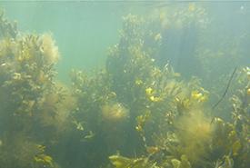 Brown seaweed (Photo by Dr. Sophie Steinhagen)