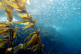 Kelp forest (Photo by Robert Schwemmer/NOAA via Wikimedia Commons)