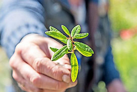 Labrador tea (Photo by Paul Smith/Special to The Telegram)
