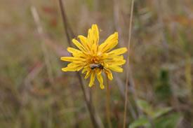 Sweat bee on false dandelion (Photo by Diana Robson)