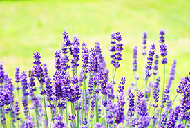 Lavender flowers (Photo from Pixabay)