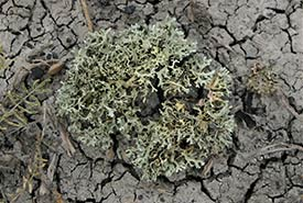 Lichens are often the first organisms to start growing on disturbed soils. (Photo courtesy of Manitoba Museum)