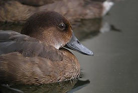 Madagascar pochard (Photo by Frank Vassen, Wikimedia Commons)