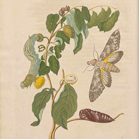 Maria Sibylla Merian, page from Metamorphosis-insectorum Surinamensium, 1705 (Public domain via Wikimedia Commons)