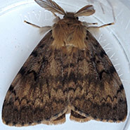 Spongieuse européenne mâle (Photo de robertdifruscia, CC BY-NC 4.0)