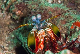 Mantis shrimp (Photo by Dan Vaughan, iNaturalist, CC BY-NC-ND 4.0)