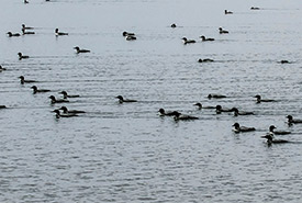Migrating loons (Photo by © Janet Hill, CC BY-NC-SA 2.0)