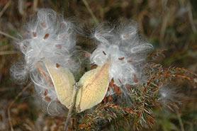 Milkweed seeds (Photo by Bill Macintyre)
