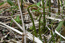 Fiddleheads spotted on our nature walk. (Photo by Robert Britton)