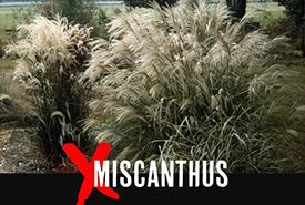 Miscanthus (Photo by John Ruter/University of Georgia/Bugwood.org)