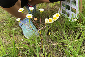 I recognized that a lot of the kids were able to identify monarch caterpillars and understood the importance of milkweed. (Photo by NCC)