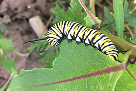 Monarch caterpillar (Photo by NCC)