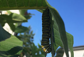 A monarch caterpillar hanging from my milkweed plant (Photo by Sofia Becerra/NCC staff)