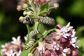 Monarch on milkweed (Photo © Manitoba Museum)