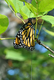 A tagged monarch hanging from a branch (Photo by Grace Pitman)
