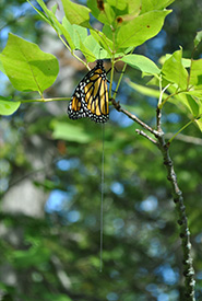 A monarch equipped with a radio transmitter. Only the antenna is visible below. (Photo by Rachael Derbyshire)