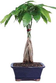 Money plant (Photo by Amazon)