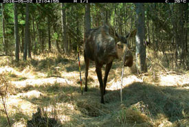 Camera trap image of an elk (Photo by NCC)