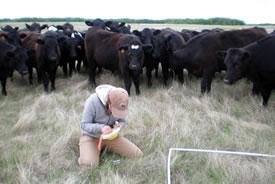 Curious cows look on as the team works (Photo courtesy of Marika Olynyk)