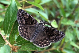 A mottled duskywing sits on a prairie redroot plant (Photo by NCC)