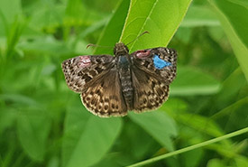 A marked mottled duskywing sits on New Jersey tea plant (Photo by Angela Demarse)