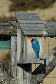 Mountain bluebird (Photo by M.A. Bellingham)