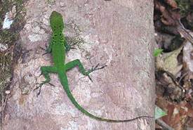 Other non-bird species we spotted during our trip ― Mountain Guadeloupe anole (Photo by Rob Alvo)