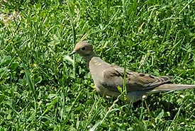An unremarkable photo of a mourning dove. One of the birds that I actually put my phone down for to just enjoy their company. (Photo by Wendy Ho/NCC staff)