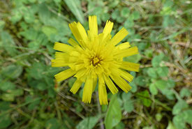 Mouse-ear hawkweed flower (Photo by mhalsted, CC BY-NC 4.0)