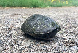 Musk turtle (Photo by NCC)