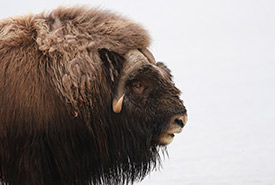 Muskox (Photo by camerondeckert, CC BY-NC 4.0)