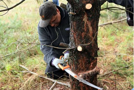 NCC national staff tackling Scots pine on a nature reserve, ON (Photo by NCC)