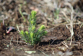Newly planted tree at NCC's Meeting Lake 03 property, SK (Photo by NCC)