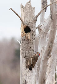 Northern flicker (Photo by David McCorquodale, CC BY 4.0)
