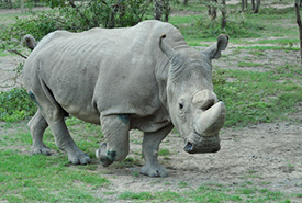 Northern white rhino (Photo by Jana Ohrner CC-BY-NC)