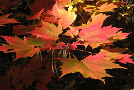 Norway maple (Photo by Doc Searls)